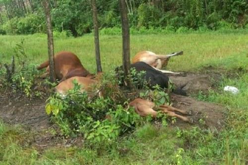 Đàn bò 5 con bị sét đánh chết ngay tại chỗ. Ảnh: V.T