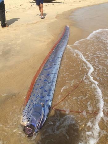 Xác con cá hố rồng dạt bờ biển được ngư dân phát hiện. Ảnh: Đông Nguyễn