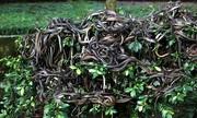 Hòn đảo Trung Quốc là ngôi nhà của 20.000 con rắn độc