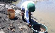 Dịch bệnh và nắng nóng khiến tôm sú ở Thanh Hóa chết hàng loạt