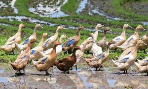 Nông dân Nhật nhờ vịt bắt sâu, trừ cỏ cho ruộng lúa