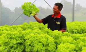 Vườn rau sạch thủy canh 2.000 m2 của nông dân miền Tây