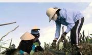 Khoai sọ Khám Lạng đạt sản lượng 5.000 tấn mỗi năm