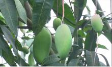 10 tấn xoài tượng Sơn La được xuất khẩu trong tháng 6