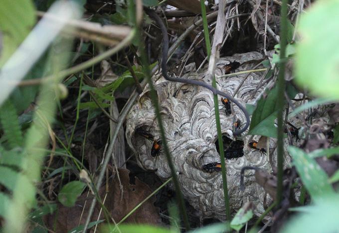 Nghề săn ong 'tử thần' ở Quảng Nam
