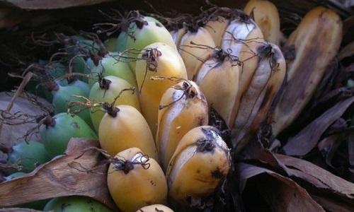 Chuối Madagascar có khả năng kháng hạn hán và dịch bệnh tốt. Ảnh: BBC.