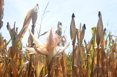 Để vớt vát, nhiều người dân đã thu hoạch ngô non, dù một tháng nữa mới chính vụ. Ảnh: Đức Hùng