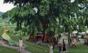 Cây mộc thần gần 500 tuổi ở Khánh Hòa hút khách du lịch
