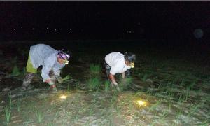Nông dân Hà Nội đeo đèn pin cấy lúa đêm để tránh nóng