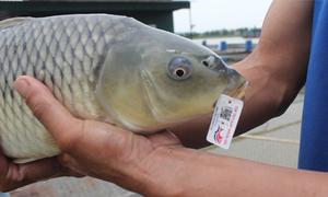 Lão nông Hải Dương gắn 'chứng minh thư' cho cá