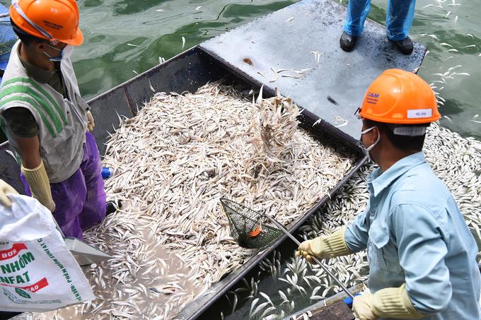 Gần 100 người vớt cá chết ở hồ Tây