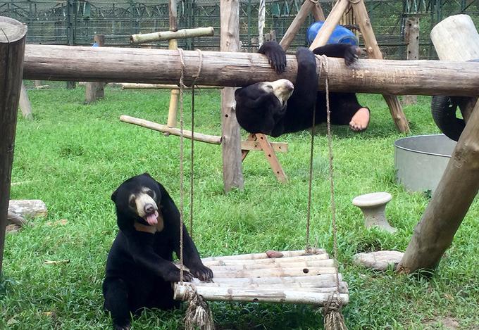 Gấu chó con lớn từng ngày sau ba năm được giải cứu