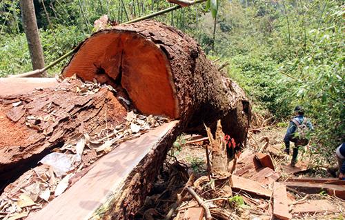 Một cây gỗ lim xanh bị lâm tặc đốn hạ chưa kịp cưa xẻ. Ảnh: Đắc Thành.