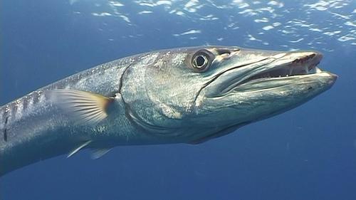 Loài cá sát thủ nào còn được mệnh danh là Sói biển?