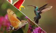 Bướm đêm tiến hóa để trở thành bản sao của chim ruồi