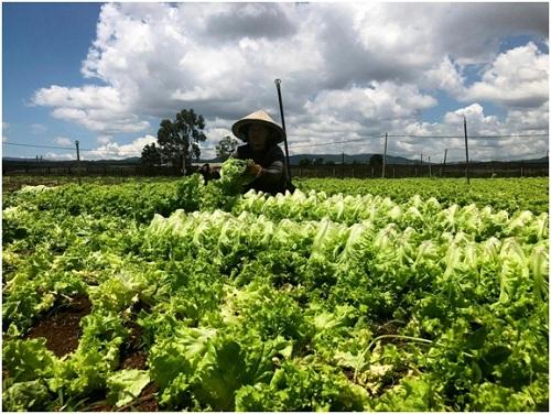 Sản xuất rau củ theo tiêu chuẩn VietGAP giúp người nông dân gia tăng cơ hội bán hàng