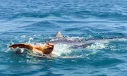 Cá mập hổ xé xác rùa biển ngoài khơi Mỹ