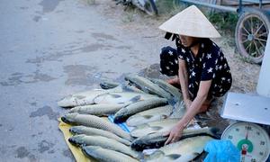 Hơn 150 tấn cá lồng chết trong hai ngày qua ở Huế
