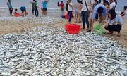 Hơn 3 tấn cá mạu dạt vào bờ, ngư dân mỏi tay bắt