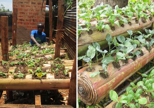 Nông dân Kenya trồng rau ăn lá trên thân chuối. Ảnh: Yongo Otieno Wycliffe.