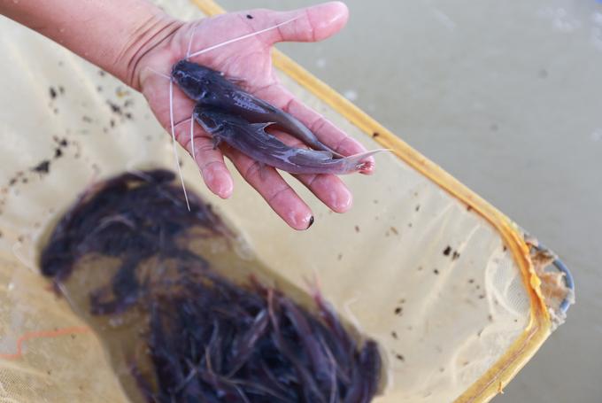 Nuôi cá lăng giống kiếm hơn tỷ đồng mỗi năm ở Sài Gòn