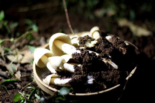 Mỗi ổnấm mối cho từ vài lạng đến hàng kg nấm đem lại tiền triệu cho người đi săn.Ảnh: Nguyễn Khoa