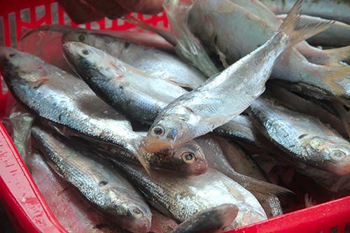 Cá mạu thuộc họ cá trích, lắm xương, chiên giòn lên ăn rất ngon. Ảnh: Đức Hùng
