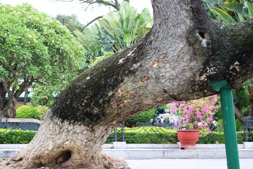 Các cây Muồngngủ bị chết đều có thân 2 người ôm và được nhà chức trách cho rằng đã gần 100 năm tuổi. Ảnh: Giang Chinh