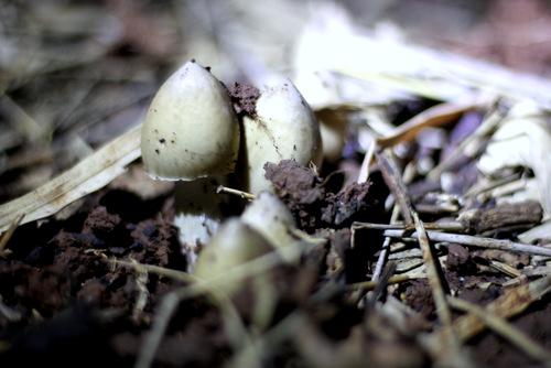 Ổ nấm mối vừa nhú lên khỏi mặt đất được tìm thấy. Ảnh: Nguyễn Khoa