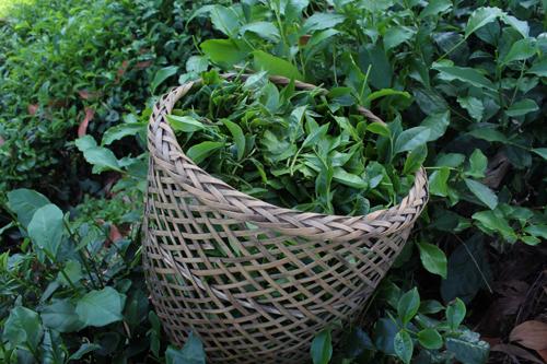 Trà Khe Cốc là một trong tứ đại danh trà đất Thái Nguyên. Ảnh: Xuân Chinh