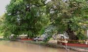 Ba cây bằng lăng hơn 300 tuổi ở An Giang