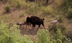 Bò rừng bison mẹ chống lại cả bầy sói để bảo vệ con