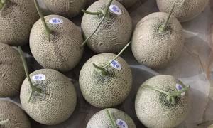 Dưa lưới trong nhà màng được cung cấp dinh dưỡng theo bữa