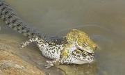 Mải giao phối, cóc đực để rắn nuốt chửng bạn tình