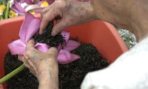 Trà cổ 7 triệu đồng một kg làm từ 1.000 hoa sen ở Hà Nội