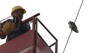 Giải cứu chim quý hiếm mắc kẹt dây điện nhiều ngày ở Sài Gòn