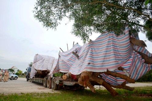 Cây đa sộp dài dài 25 m bị công an Quảng Ngãi tạm giữ. Ảnh: Văn Nam.