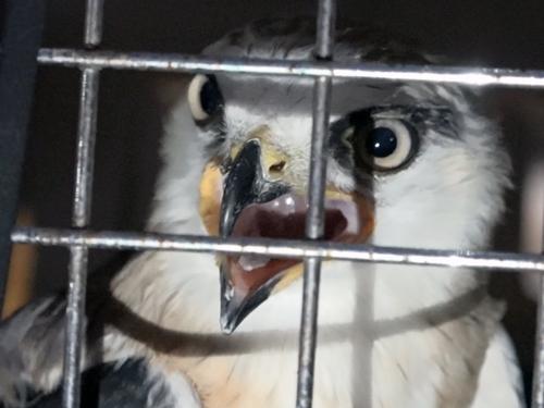Chú chim khi được giải cứu, bắt nhốt trong lồng. Ảnh: Tin Tin