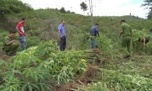 Tiêu hủy hơn 1.000 cây cần sa trồng ở bìa rừng ở Đăk Nông
