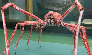 Loài cua lớn nhất thế giới có sải chân ba mét