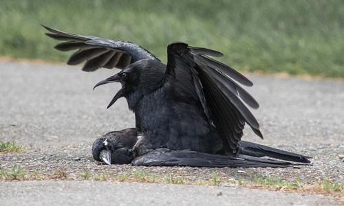 Quạ giao phối với xác chết của đồng loại. Ảnh: Kaeli Swift.