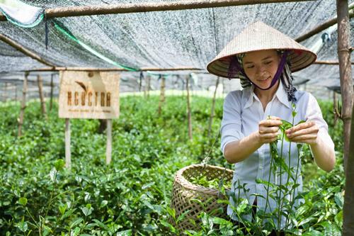 Ngọc kiên nhẫn gây dựng vườn chè sinh thái không hóa chất, không thuốc trừ cỏ. Ảnh: ngoctra.com