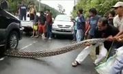 Giải cứu trăn dài 10 mét bị xe đè giữa đường