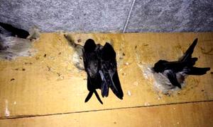 Bạc Liêu đề xuất cho 14 cán bộ đi Malaysia học nuôi chim yến