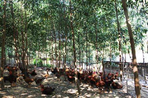 Dưới tán cây trên đồi, người Phú Bình chăn thả gà ri truyền thống. Ảnh: Xuân Chinh