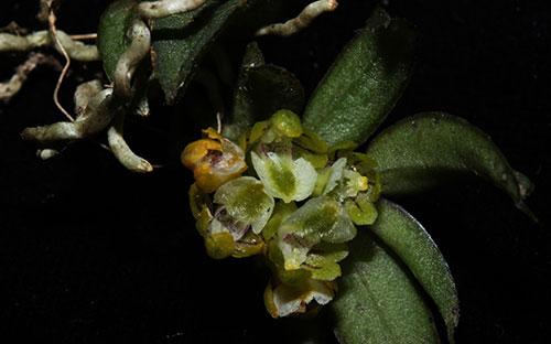 Gastrochilus setosus Aver. et Vuong