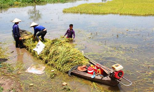 Nông dân dùng xuống thu hoạch lúa bị ngập lũ. Ảnh: Hoàng Nam