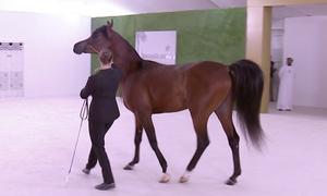 Thái tử Abu Dhabi tặng ngựa Arab cho Tập Cận Bình