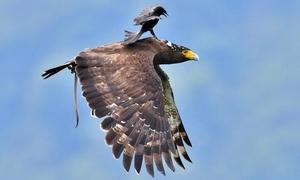Chèo bẻo 'cưỡi' chim săn mồi trên không