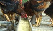 Bí quyết nuôi gà đồi Phú Bình thịt chắc, ít bệnh